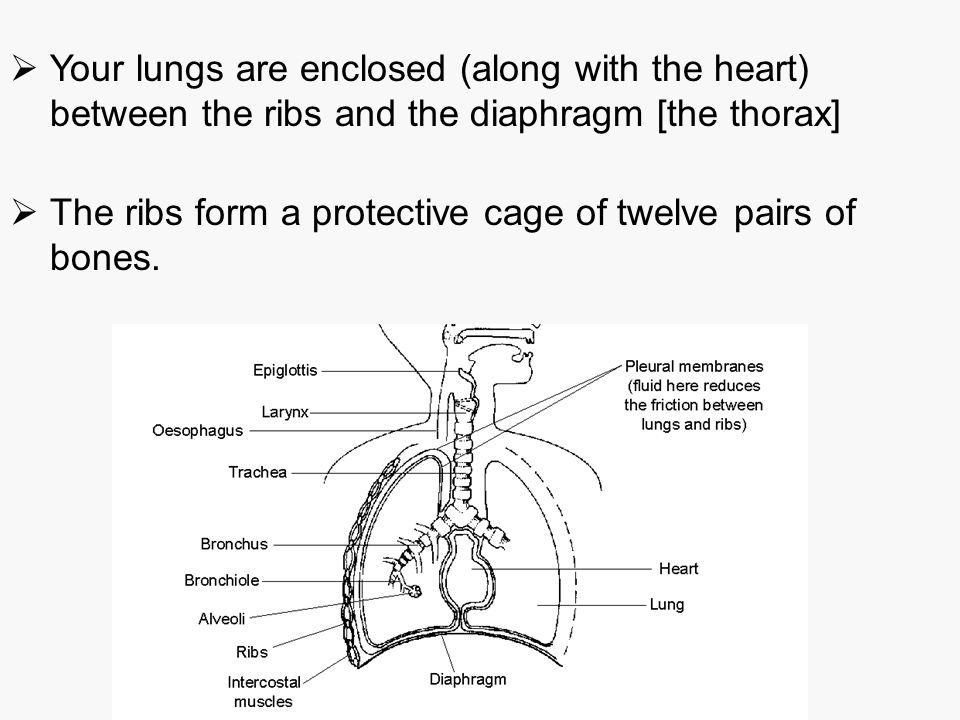 Your lungs are enclosed (along with the heart) between the ribs and the diaphragm [the thorax]